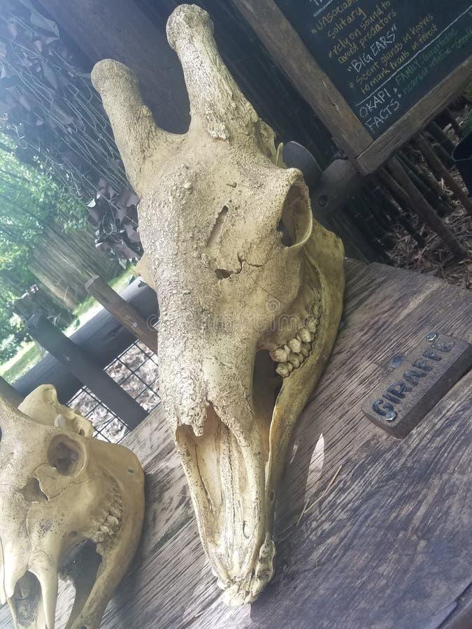 Giraffskalle fotografering för bildbyråer