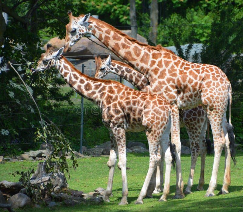 Giraffslut upp Giraffacamelopardalis arkivfoto