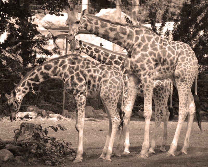 Giraffslut upp Giraffacamelopardalis royaltyfri fotografi