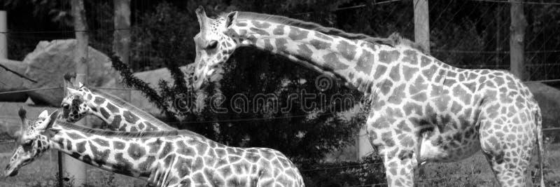 Giraffslut upp Giraffacamelopardalis royaltyfria foton
