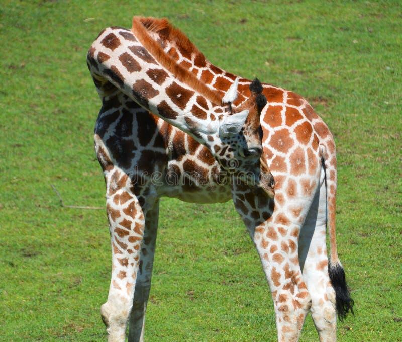 Giraffslut upp Giraffacamelopardalis royaltyfria bilder