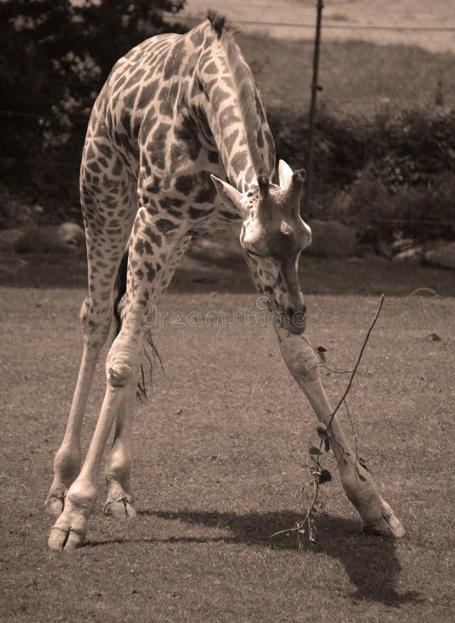 Giraffslutet upp Giraffacamelopardalis royaltyfri fotografi