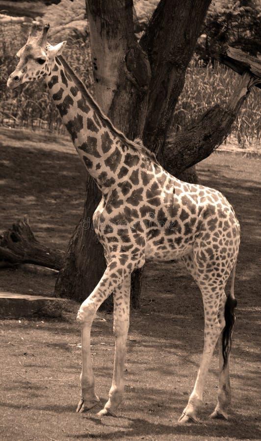 Giraffslutet upp Giraffacamelopardalis royaltyfria bilder