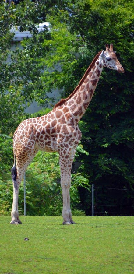 Giraffslutet upp Giraffacamelopardalis royaltyfria foton