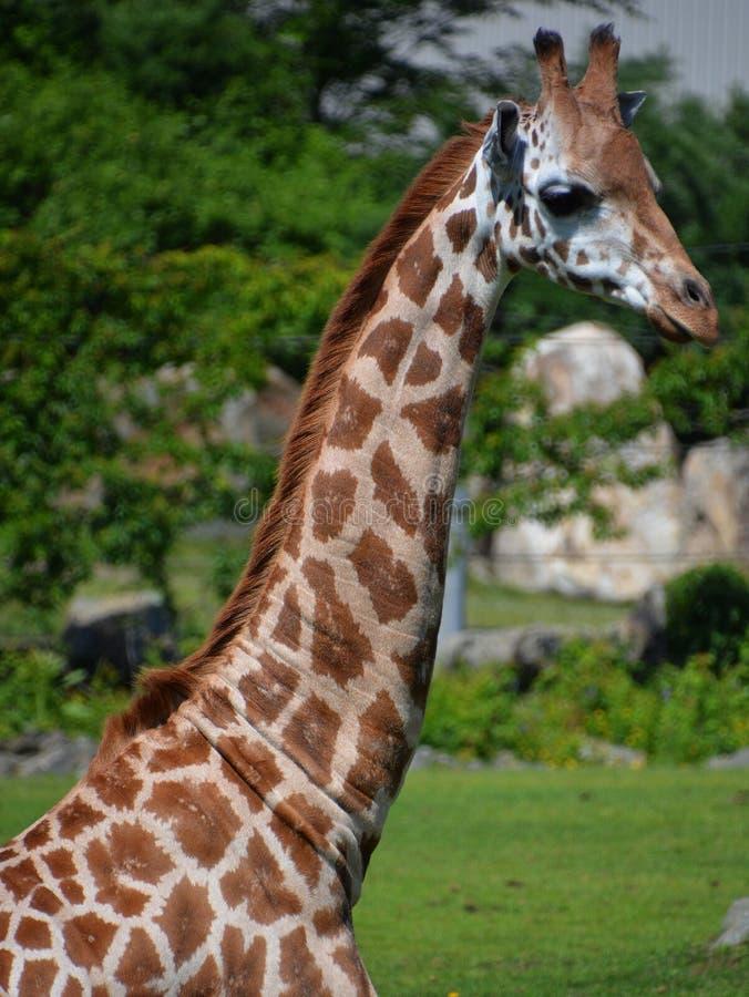 Giraffslutet upp Giraffacamelopardalis arkivbild