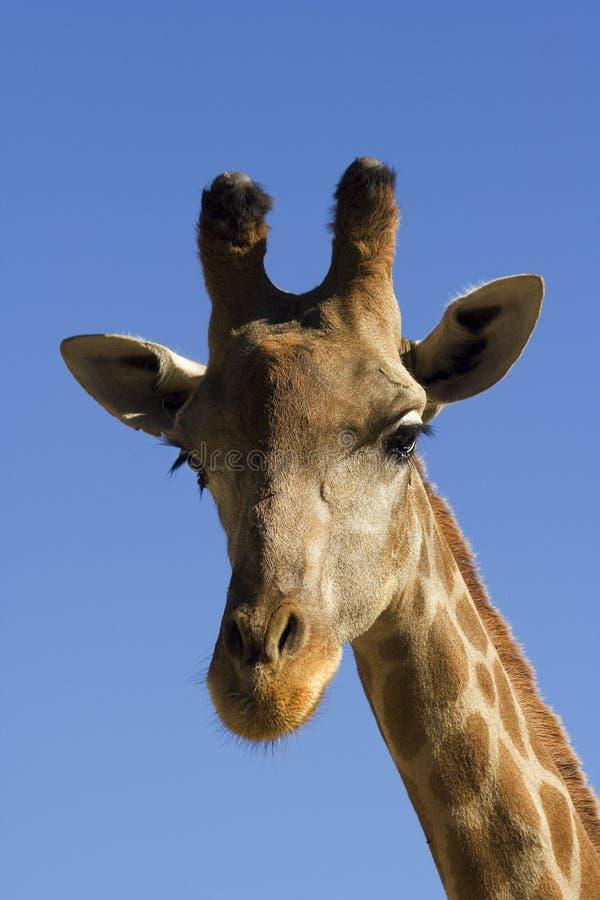 giraffstående royaltyfria bilder