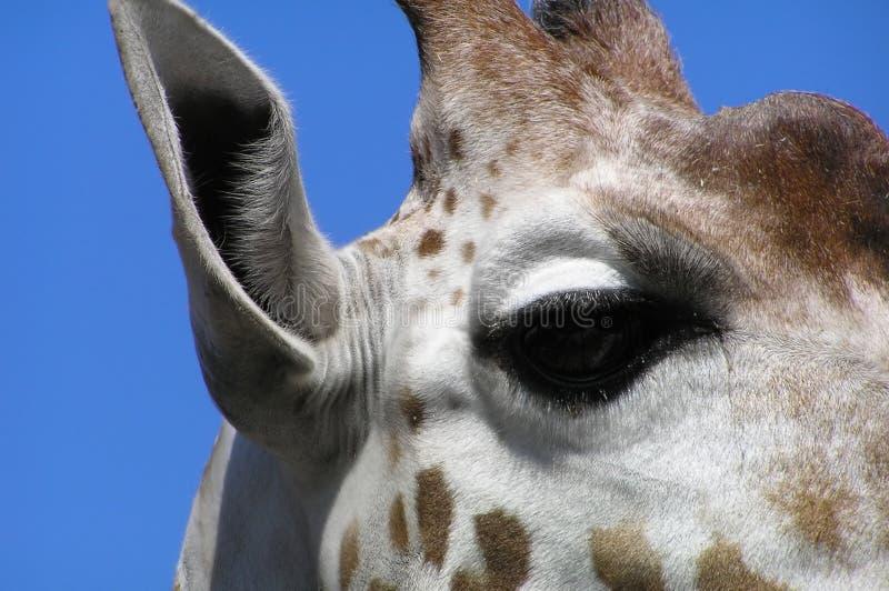 giraffstående arkivbild