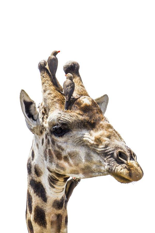 Giraffstående som isoleras i vit bakgrund arkivfoton
