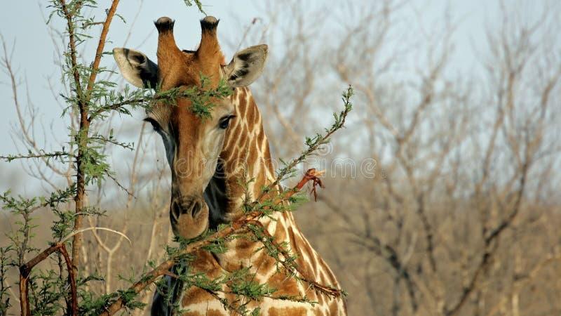 giraffståendesabien sands wild royaltyfri bild