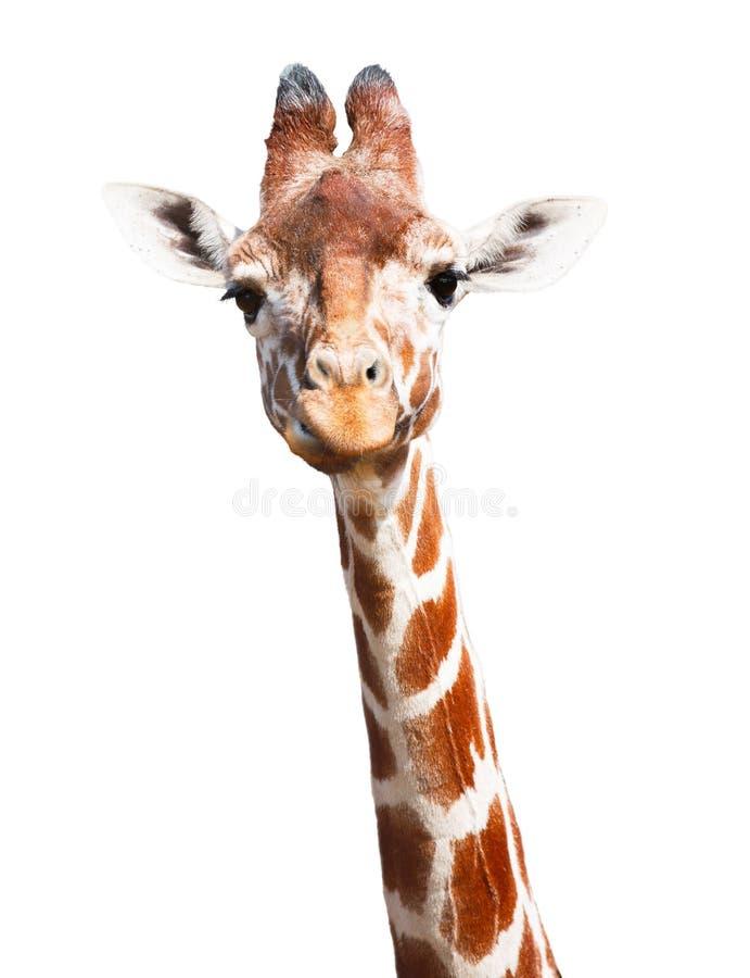 Giraffwhitebakgrund arkivbild