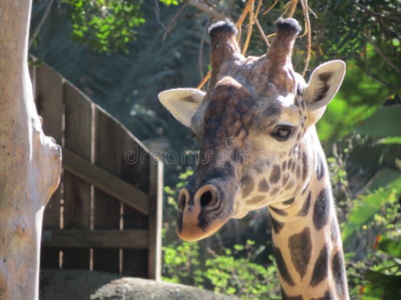 Girafgezicht stock foto's