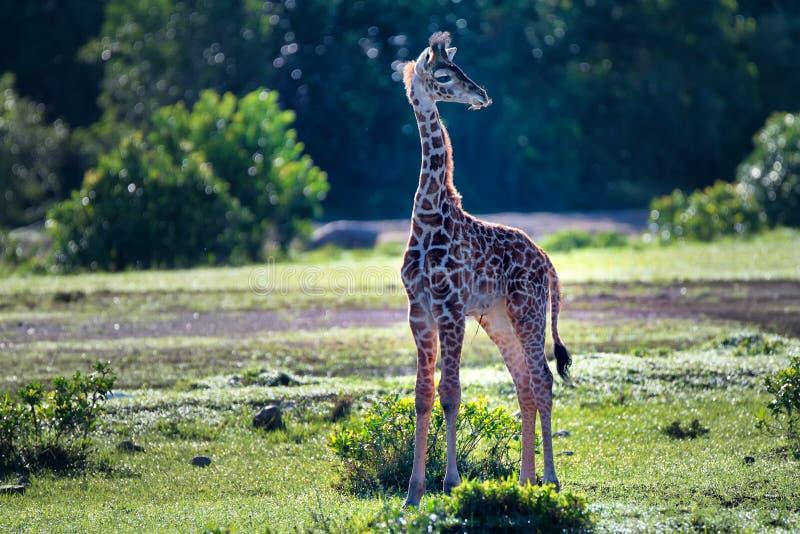 Girafkalf royalty-vrije stock foto's