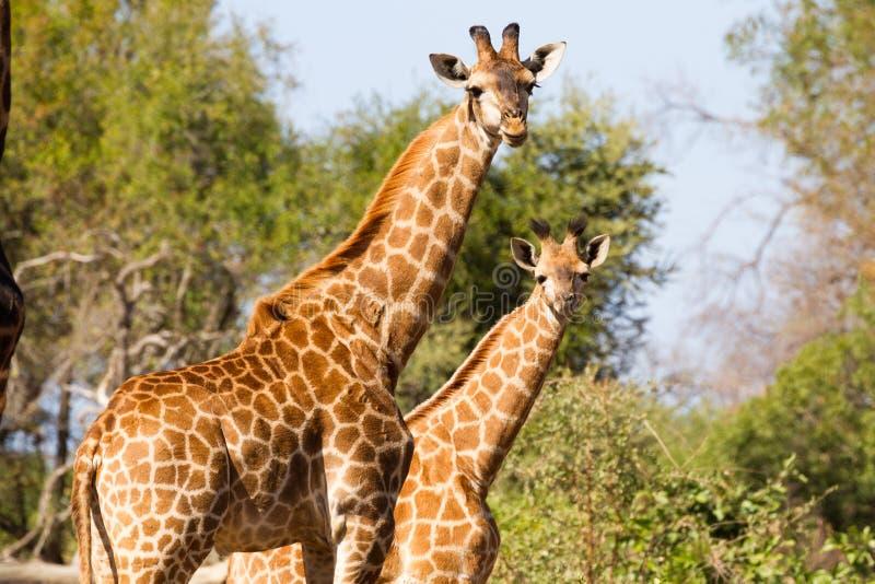 Girafmoeder en jongelui royalty-vrije stock foto's