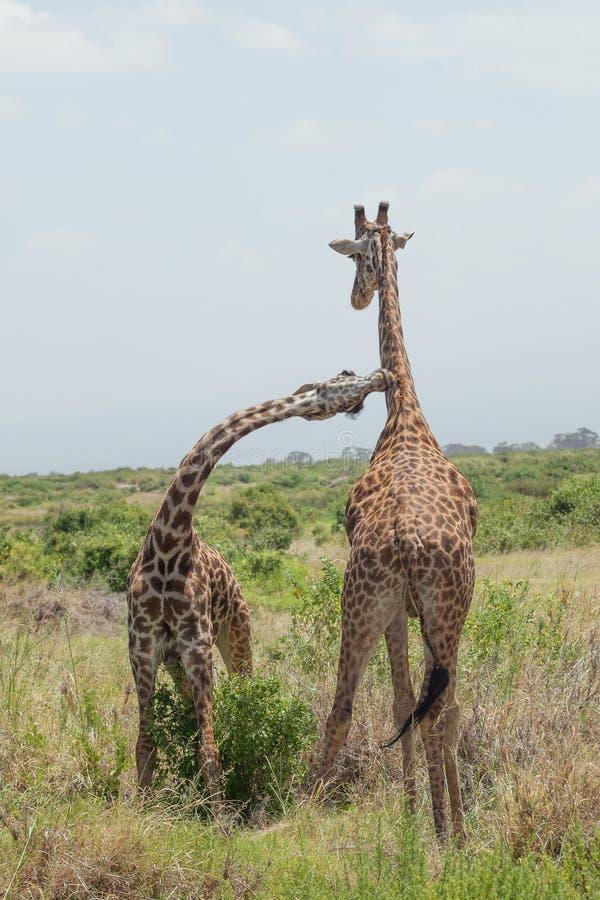 Girafpaar. Amboseli, Kenia. stock afbeelding