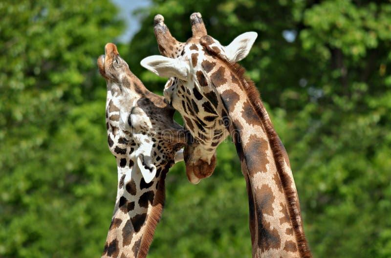 Girafpaar die het houden tonen van aan royalty-vrije stock afbeelding