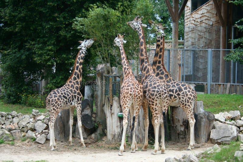 Download Girafres eating stock image. Image of vertebrate, eating - 26130235