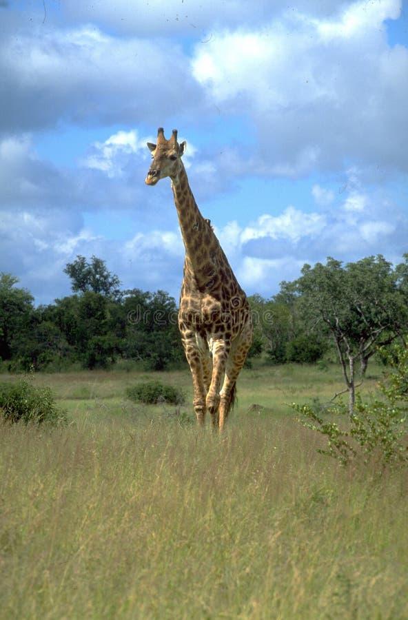 Girafs dobrego przegląd ale jest także prawdziwy łatwy dostrzegać, obraz royalty free
