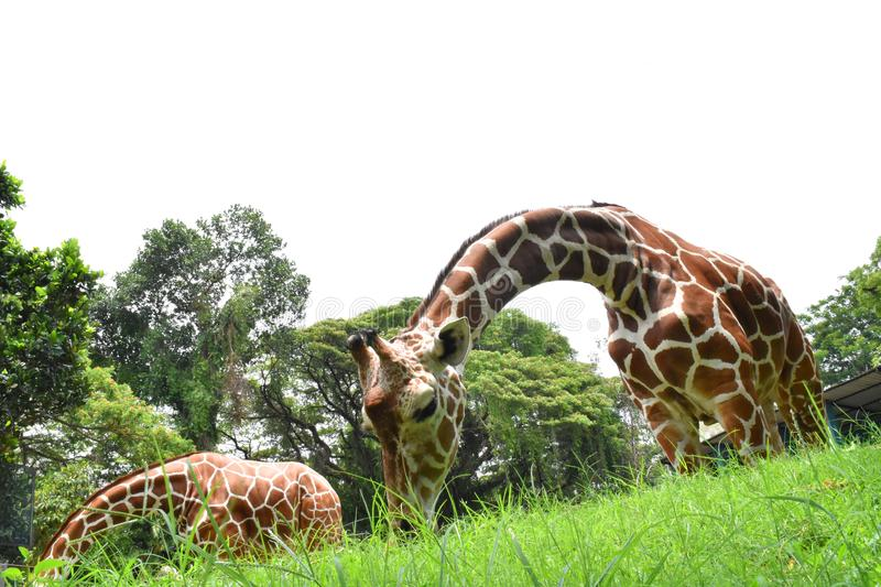 Girafs at Zoological Gardens, Dehiwala. Colombo, Sri Lanka.  stock images