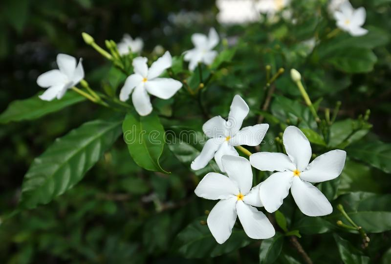 Girandola Jasmine Flowers fotografia stock libera da diritti
