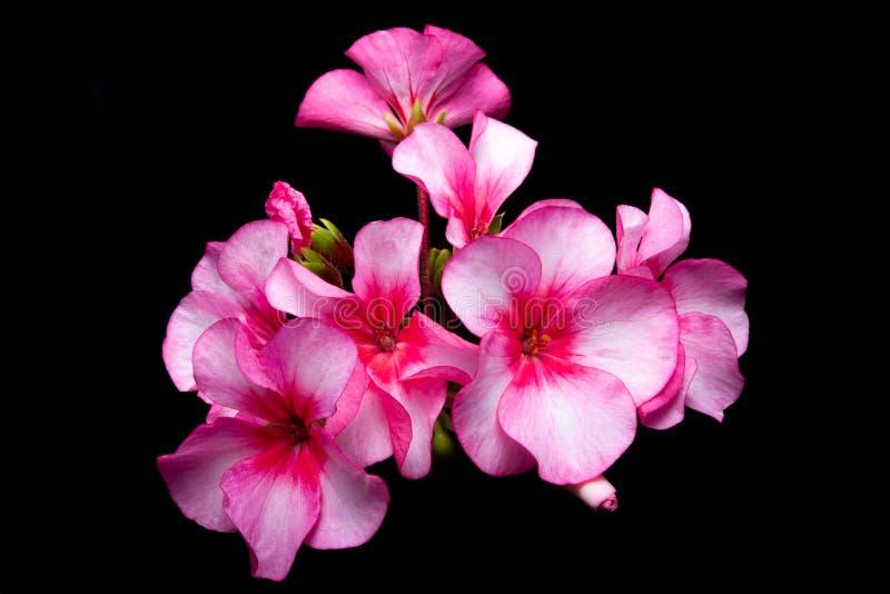 Giranium rosa sui precedenti neri isolati immagine stock