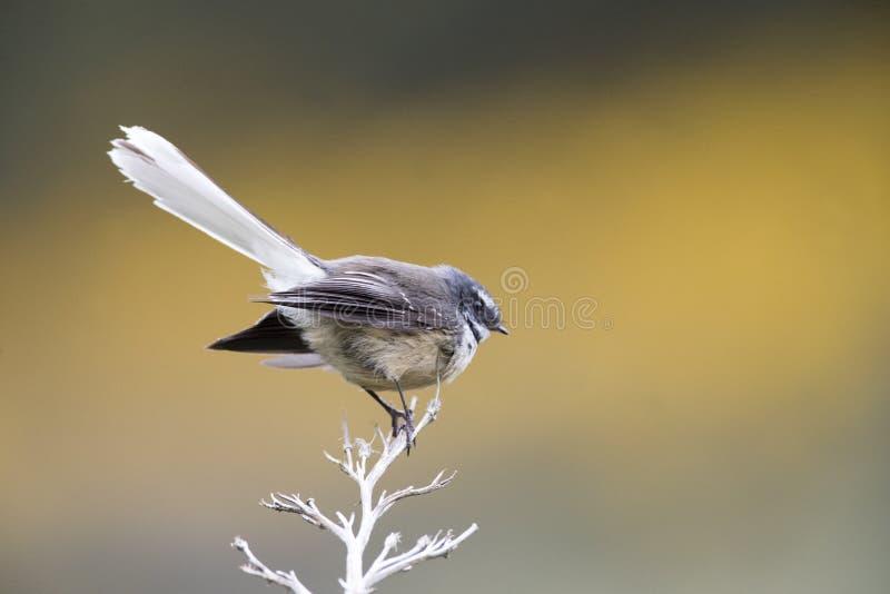Girante laterale della Nuova Zelanda, fuliginosa di Rhipidura fotografia stock libera da diritti