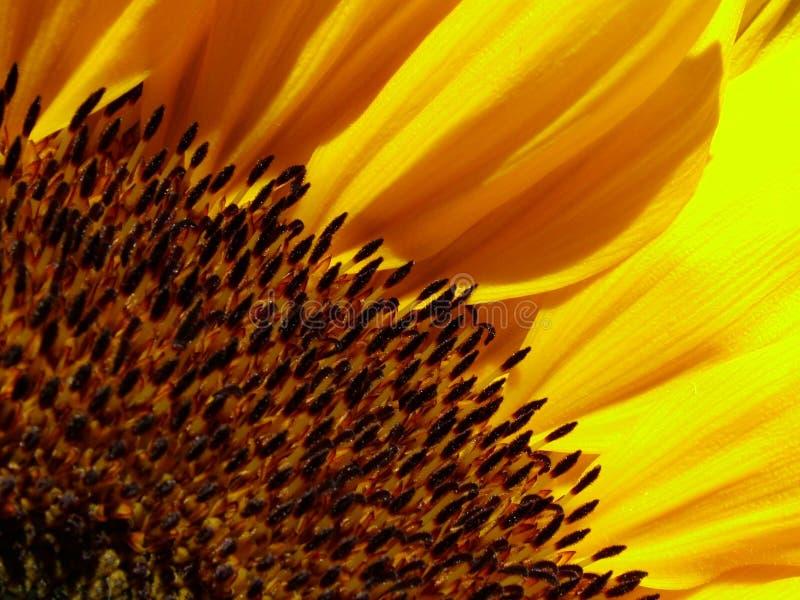 Download Girasol imagen de archivo. Imagen de girasol, flor, resplandor - 177213