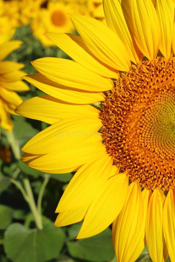 Download Girasol imagen de archivo. Imagen de pétalos, flores - 42430429