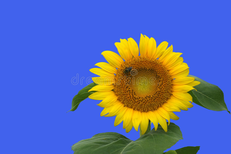 Download Girasol aislado foto de archivo. Imagen de planta, vivo - 176520