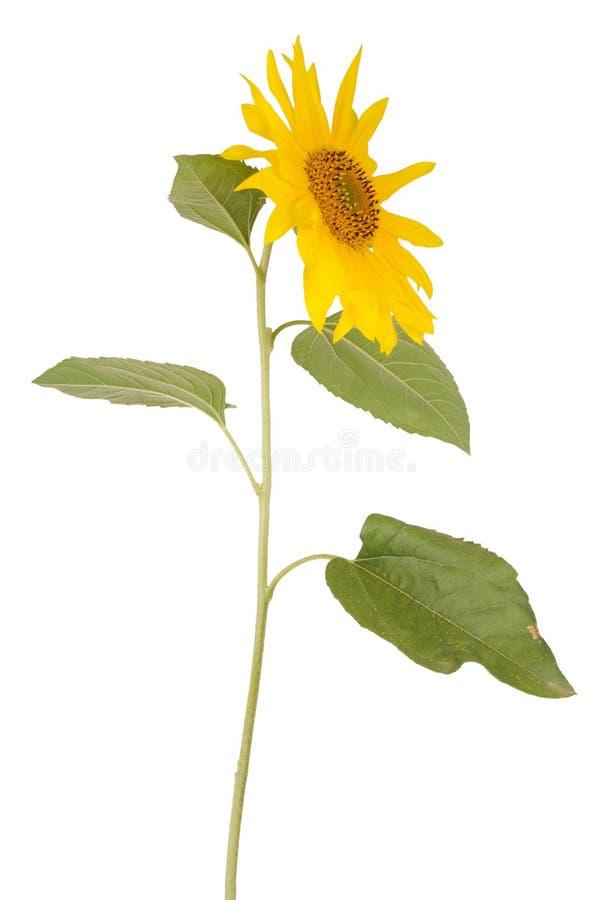 Girasol amarillo hermoso foto de archivo