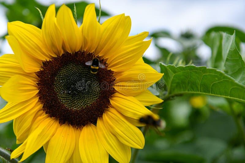 Girasol con el abejorro foto de archivo libre de regalías