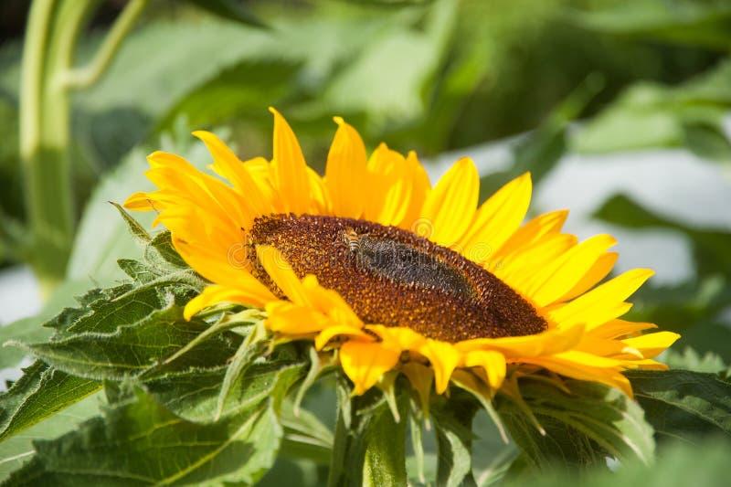 Girasol con la flor de polinización de la abeja foto de archivo libre de regalías