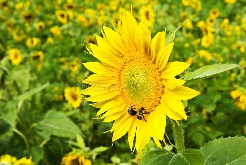 Girasol con las abejas fotografía de archivo