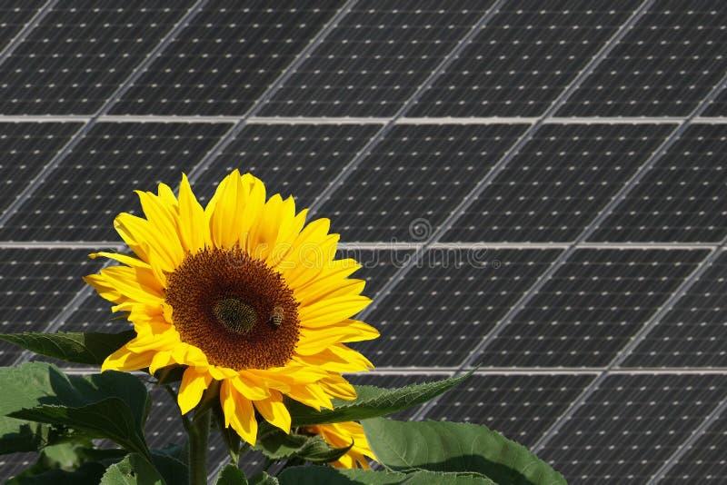 Girasol con las abejas delante de los paneles solares foto de archivo libre de regalías