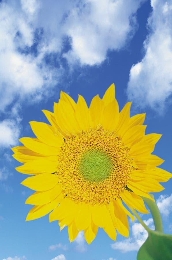 Girasol contra el cielo azul imágenes de archivo libres de regalías