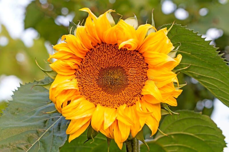 Download Girasol de la naturaleza foto de archivo. Imagen de polen - 42443868