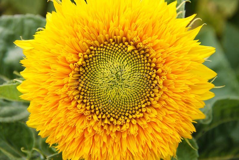 Girasol decorativo con los pétalos amarillos hermosos En la base de la flor es una gota de la lluvia Macro imagen de archivo libre de regalías