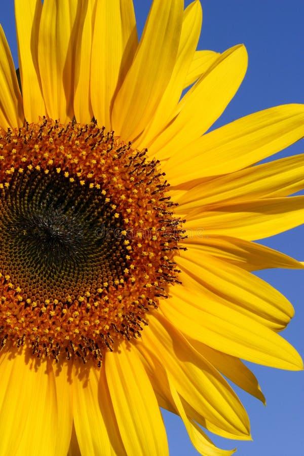 Download Girasol del verano imagen de archivo. Imagen de azul, brillante - 178019