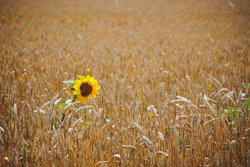 Girasol en campo de trigo apacible imagenes de archivo