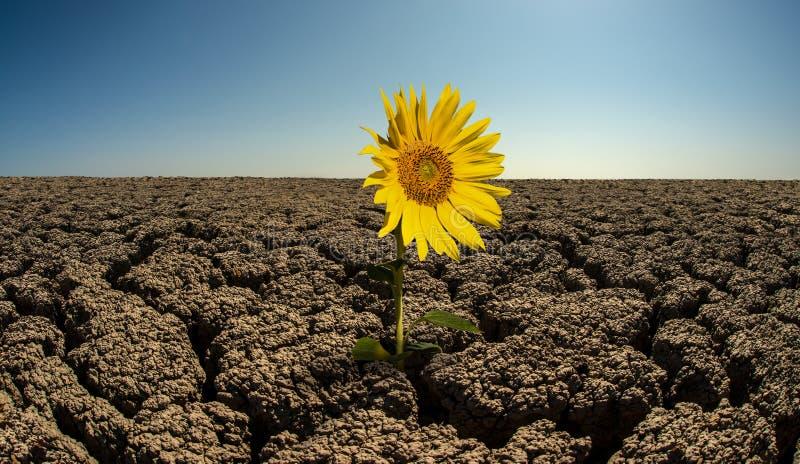 Girasol en desierto árido imagen de archivo