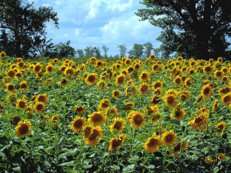 Girasol en el medio del verano en un día caliente fotos de archivo libres de regalías