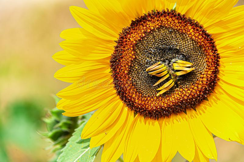 Girasol en el sol con para arriba los floretes secos fotografía de archivo libre de regalías
