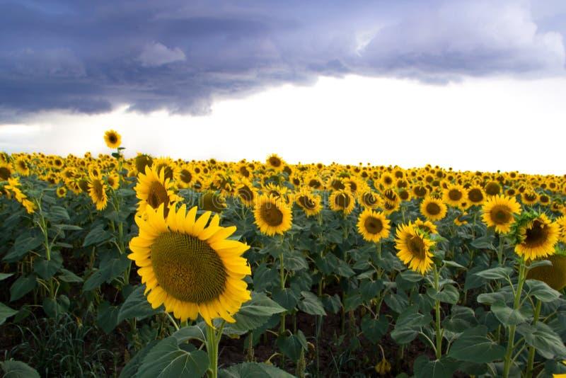 Girasol en un campo y nubes oscuras Ciérrese encima de la vista de girasoles fotos de archivo