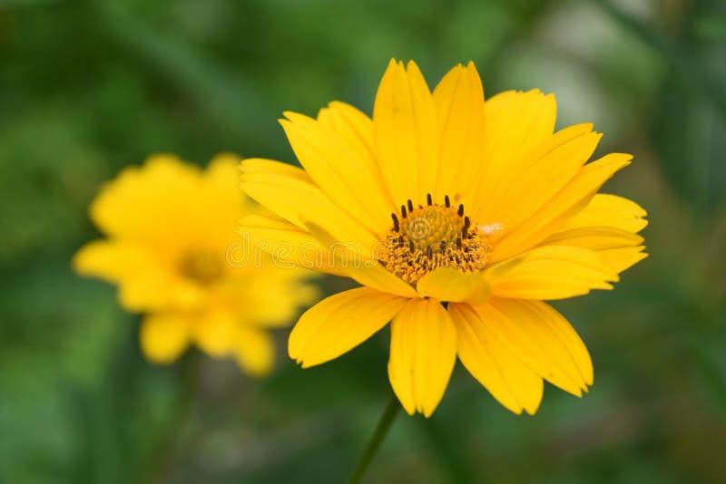 Girasol falso floreciente hermoso en un jardín fotos de archivo