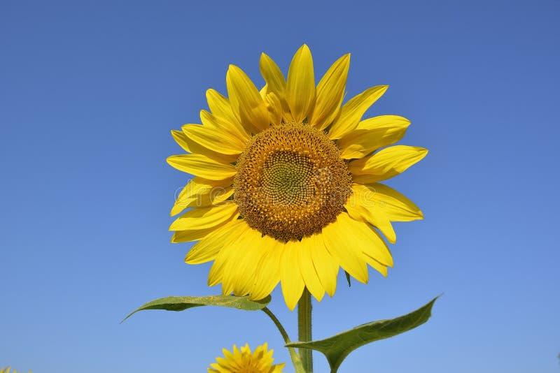 Girasol Inflorescencia de un primer floreciente del girasol contra un cielo despejado azul brillante Girasol en Sunny Day fotos de archivo