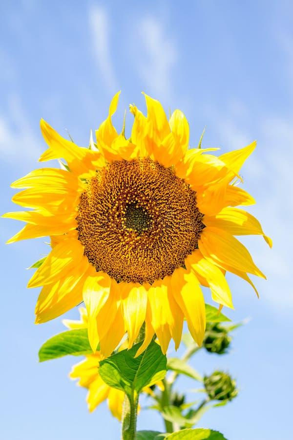 Download Girasol Joven De La Planta Floreciente Contra El Cielo Foto de archivo - Imagen de limpio, fondos: 42431828