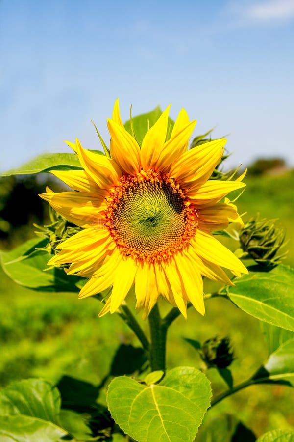 Download Girasol Joven De La Planta Floreciente Contra El Cielo Foto de archivo - Imagen de color, belleza: 42431878