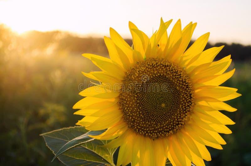 Girasol joven hermoso crecer en un campo en la puesta del sol Agricultura y cultivo Cosechas agr?colas Flores amarillas Helianthu fotografía de archivo