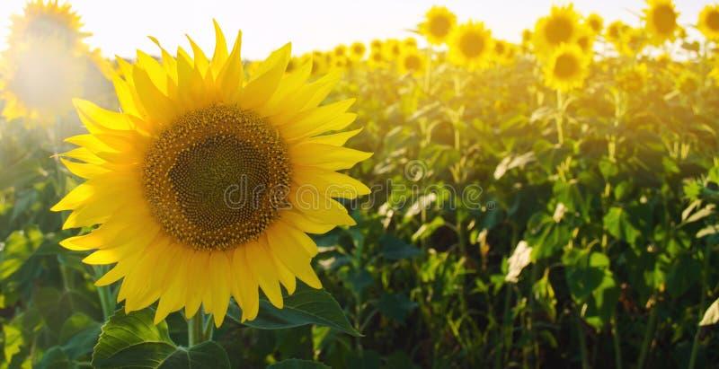 Girasol joven hermoso que crece en un campo en un día soleado Agricultura y cultivo Cosechas agr?colas Helianthus travieso foto de archivo libre de regalías