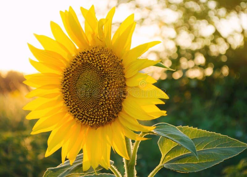 Girasol joven hermoso que crece en un campo en la puesta del sol Agricultura y cultivo Cosechas agr?colas Helianthus travieso imagen de archivo