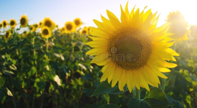 Girasol joven hermoso que crece en un campo en la puesta del sol Agricultura y cultivo Cosechas agr?colas Helianthus travieso imagenes de archivo